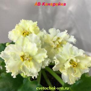 АВ-Канарейка (Фиалковод)