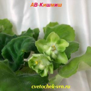 АВ-Кишмиш (Фиалковод)
