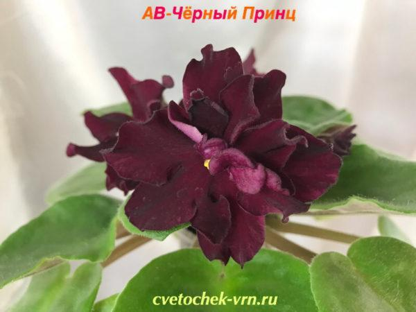 АВ-Чёрный Принц (Фиалковод)
