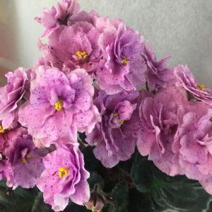 ЕК-Розовый Далматинец