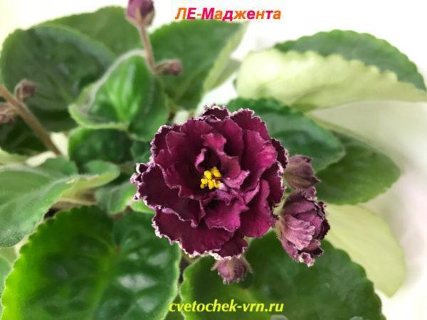 ЛЕ-Маджента