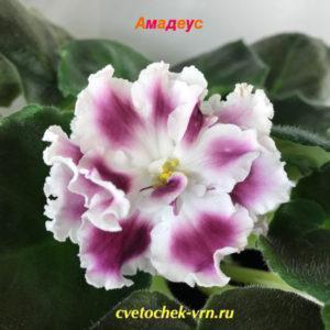 СМ-Амадеус (К.Морев)