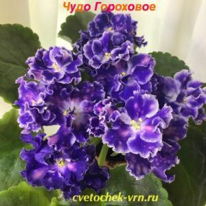 СМ-Чудо Гороховое (К.Морев)