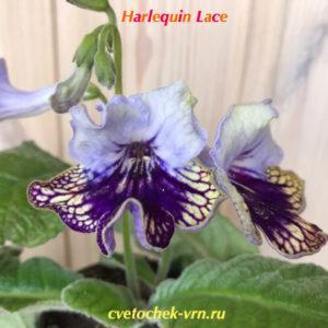 Harlequin Lace (Dibley)