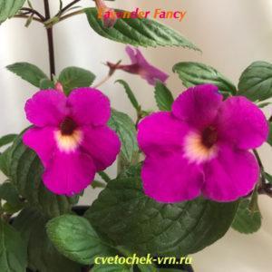 Lavender Fancy (R.Brumoton)