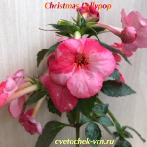 Christmas Lollypop (S.Saliba)