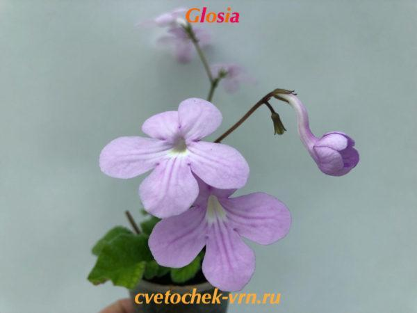 Glosia (R.Dibley)