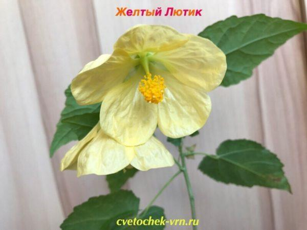 Желтый Лютик (Е.Глушкова)