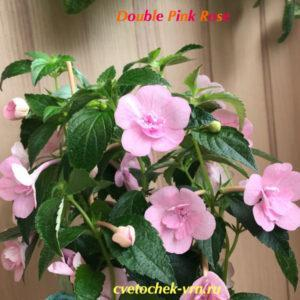 Double Pink Rose (G.Mossop)