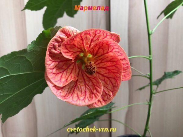 Мармелад (А.Шитова)