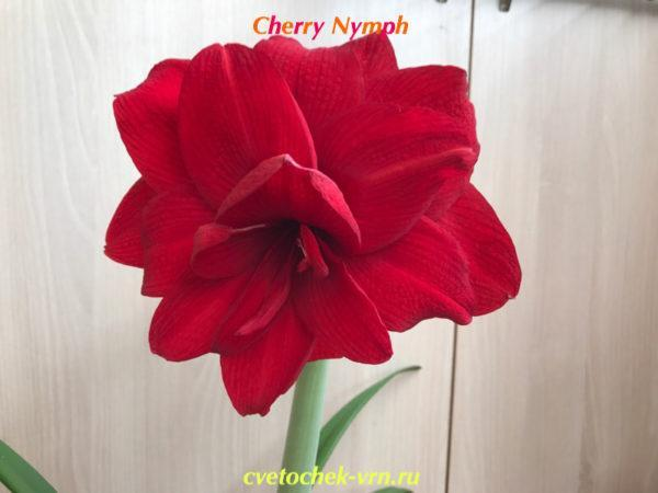Cherry Nymph
