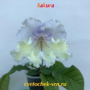 Sakura, 7074