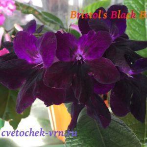Bristol`s Blackbird (R.Robinson)