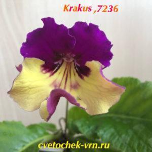 Krakus PK, 7236