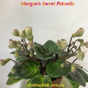 Morgan's Sweet Patootie (C.Eros)
