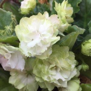Spring Rose (Sorano)