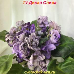 TV-Дикая Слива (Т.Высота)