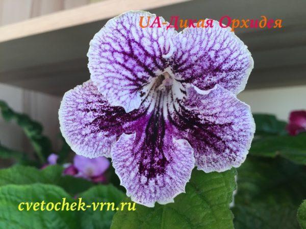 UA-Дикая Орхидея (Ю.Склярова)