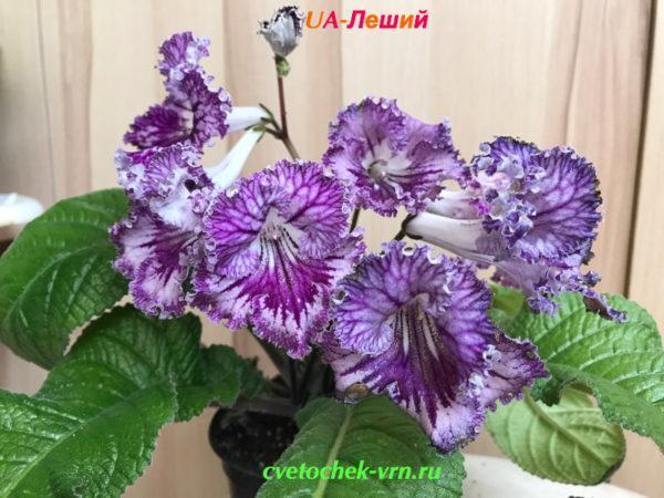 UA-Леший (Ю.Склярова)