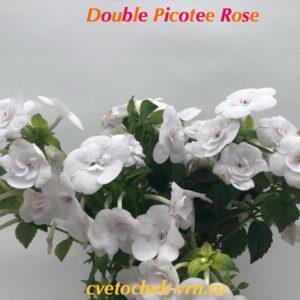 Double Picotee Rose (G.Mossop)