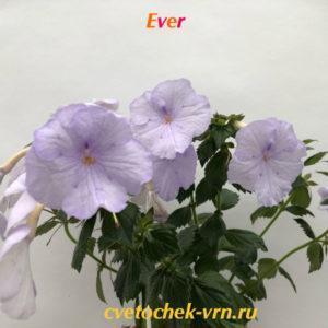 Ever (S.Saliba)