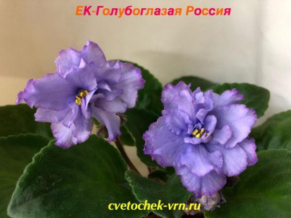 ЕК-Голубоглазая Россия