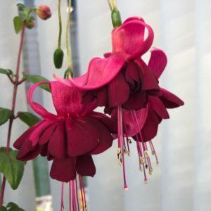 Фуксии и другие цветущие