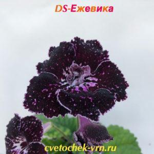DS-Ежевика
