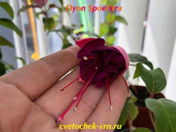 Фуксия Dyon Spoelstra