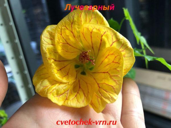 Лучезарный (Т.Цепкова)