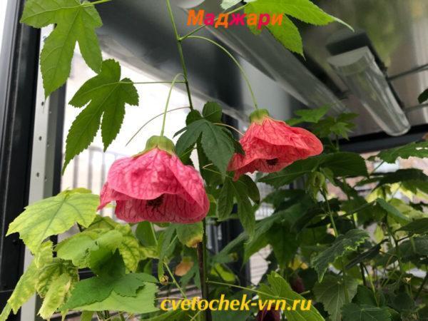 Маджари (Т.Цепкова)