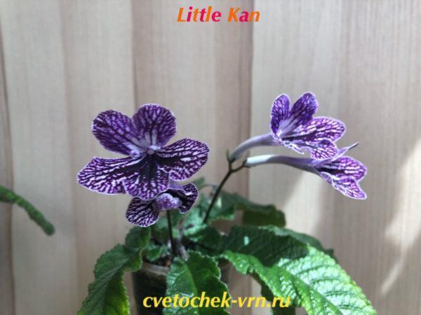 Little Kan (Kenji Hirose)