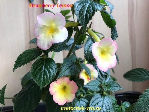 Strawberry Lemon (S.Saliba)