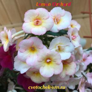 Lemon Orchard (S.Saliba)