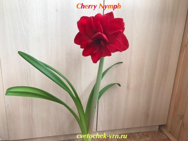 Cherry Nymph