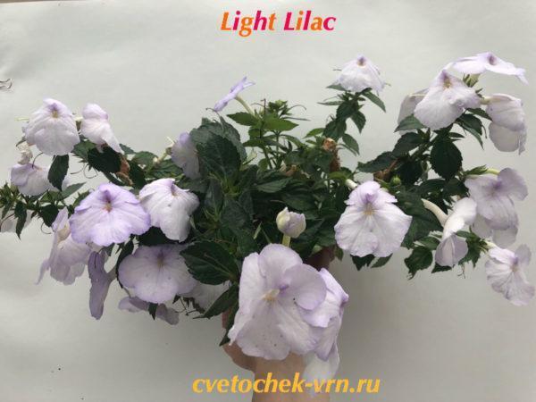 Light Lilac (Dibley)