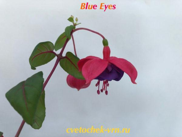 Фуксия Blue Eyes