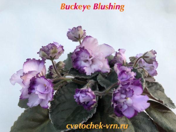 Buckeye Blushing (P.Hancock)