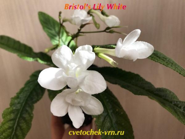 Bristol's Lily White (R.Robinson)