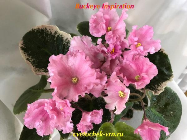 Buckeye Inspiration (P.Hancock)