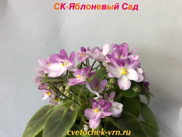 ЛЕ-Розовый Мускат
