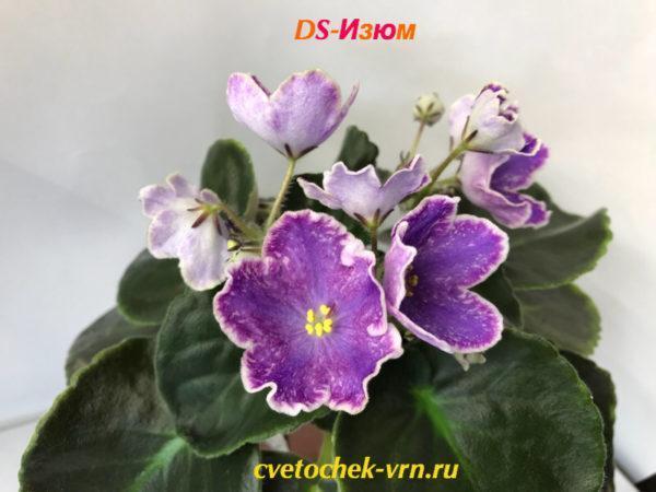DS-Изюм (Dimetris)