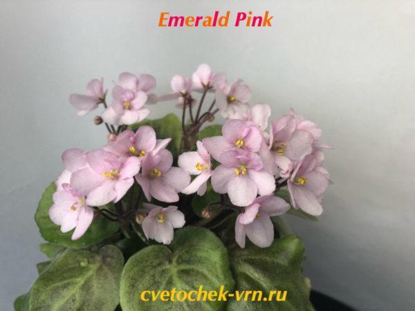 Emerald Pink спорт (LLG Sorano)