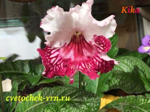 Kika (6044)