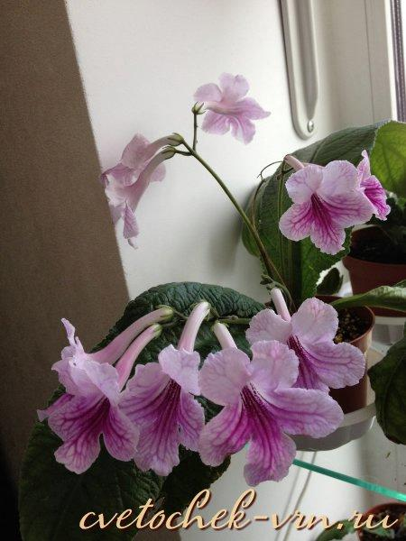 Orchid Lace (LLG)