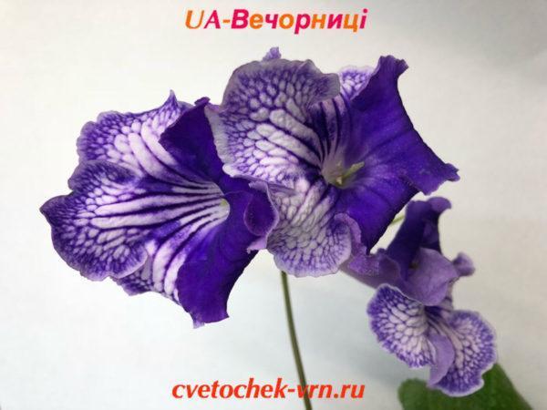 UA-Вечорницi