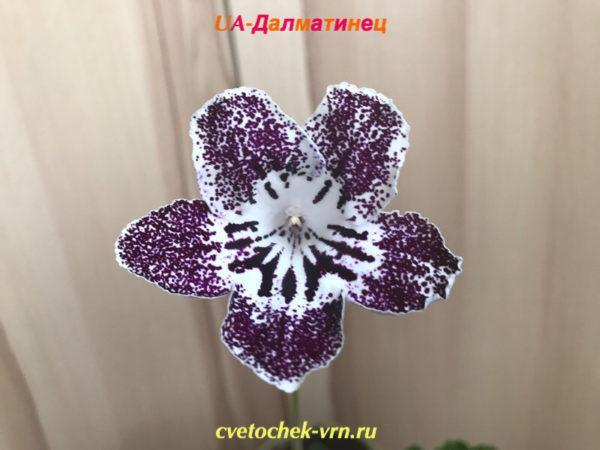 UA-Далматинец