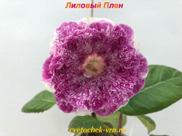 Шоко (Н.Павлюк)